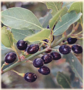 Info about Laurel oil
